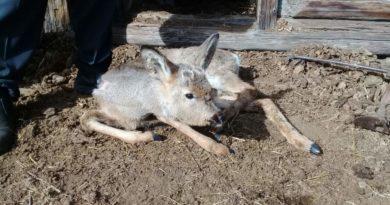 В национальном парке спасли косулю
